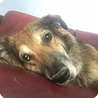 German Shepherd Dog Mix Dog for adoption in Tucson, Arizona - Kora