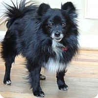 Adopt A Pet :: LITTLE MAN-POM - Franklin, TN