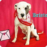 Adopt A Pet :: *BRISTOL - Sugar Land, TX