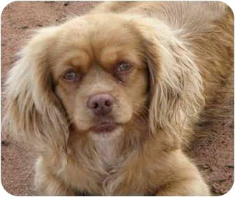 clover adopted dog 1695550 easley sc cavalier