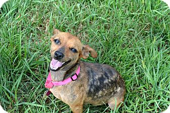 Dachshund Mix Dog for adoption in Xenia, Ohio - Bambi