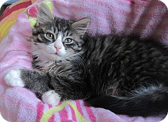 Domestic Longhair Kitten for adoption in N. Billerica, Massachusetts - Tom Thumb