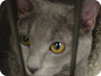 Domestic Shorthair Cat for adoption in Chino, California - Joy