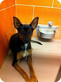 Manchester Terrier Dog for adoption in Chicago, Illinois - RICKY