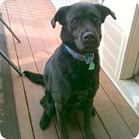 Adopt A Pet :: Gator - Homewood, AL