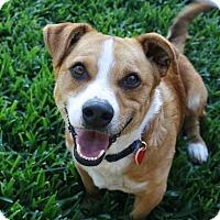 Adopt A Pet :: Simon - Yorba Linda, CA