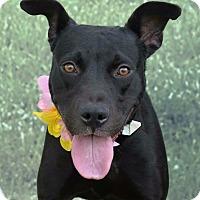 Adopt A Pet :: Sheena - Hollywood, FL