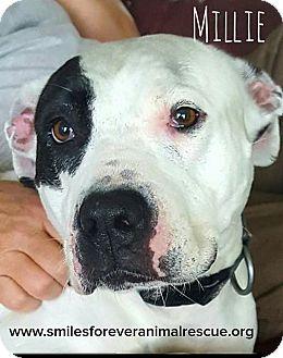 Pit Bull Terrier Mix Dog for adoption in Fincastle, Virginia - Millia