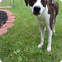 Boxer Mix Puppy for adoption in Winchester, Virginia - Marley
