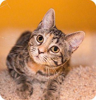 Domestic Shorthair Kitten for adoption in Seville, Ohio - Chyna-SPONSORED