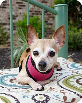 Chihuahua Dog for adoption in Houston, Texas - Chanel