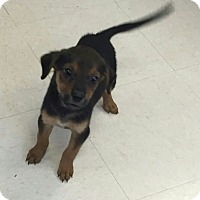 Beagle/Terrier (Unknown Type, Small) Mix Puppy for adoption in Stafford, Virginia - Tirra