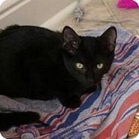 Domestic Shorthair Kitten for adoption in Centerville, Georgia - Rascal