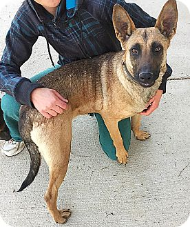 Belgian Malinois Mix Dog for adoption in Littleton, Colorado - GIGI