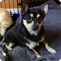 Miniature Pinscher/Pomeranian Mix Dog for adoption in Santa Ana, California - Spencer