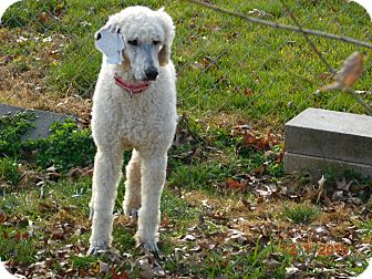 Poodle (Standard) Dog for adoption in moscow mills, Missouri - Mickey