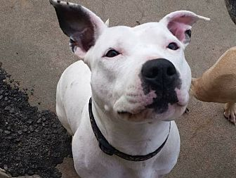 Pit Bull Terrier Mix Dog for adoption in Wichita, Kansas - Pearl
