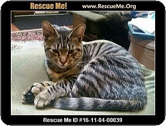 Domestic Shorthair Kitten for adoption in Waldorf, Maryland - Tantor