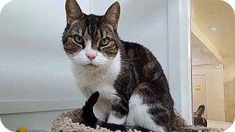 Domestic Shorthair Cat for adoption in San Carlos, California - Thurston Howell III