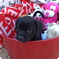 Adopt A Pet :: MACEY - Cranston, RI
