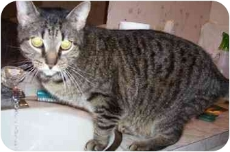 Domestic Shorthair Cat for adoption in Goldsboro, North Carolina - Squiggles