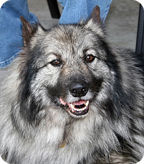 Keeshond Dog for adoption in Los Altos, California - Oscar