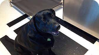 Labrador Retriever Dog for adoption in Sherman, Connecticut - Morrie