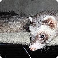 Adopt A Pet :: Karma - Buxton, ME