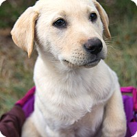 Adopt A Pet :: *Sweet Caroline - PENDING - Westport, CT