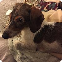 Adopt A Pet :: Sir Winston - Marcellus, MI
