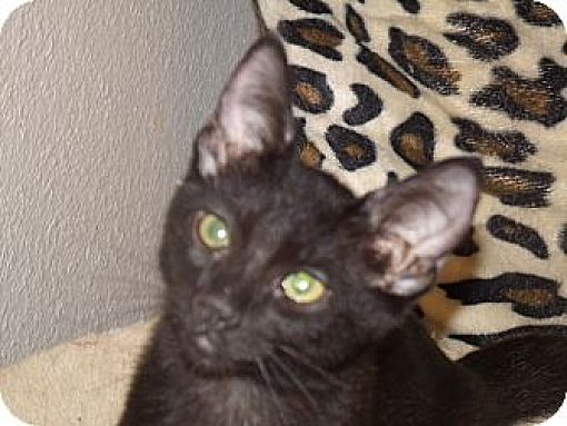 Domestic Shorthair Cat for adoption in Scottsdale, Arizona - Sky