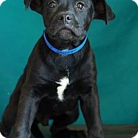 Adopt A Pet :: Gunner - Waldorf, MD