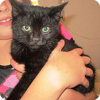 Domestic Shorthair Cat for adoption in Transfer, Pennsylvania - Jewel