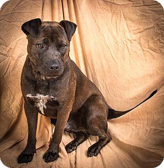 Labrador Retriever/Pit Bull Terrier Mix Dog for adoption in Anna, Illinois - TUCKER