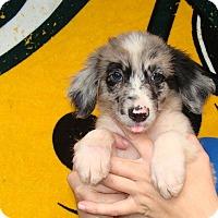 Adopt A Pet :: Pong - Oviedo, FL