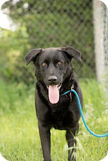 Labrador Retriever/Chow Chow Mix Dog for adoption in Valley Falls, Kansas - Loki