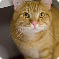 Domestic Shorthair Cat for adoption in Grayslake, Illinois - Faux Paws