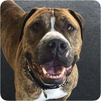 Pit Bull Terrier Mix Dog for adoption in Ithaca, New York - Chubbers