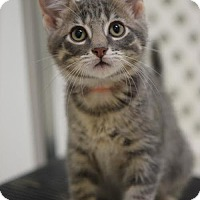 Domestic Shorthair Cat for adoption in DFW Metroplex, Texas - Achi