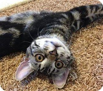Domestic Shorthair Kitten for adoption in Rocklin, California - Maui