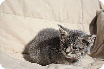 Domestic Shorthair Kitten for adoption in Angola, Indiana - Georgia