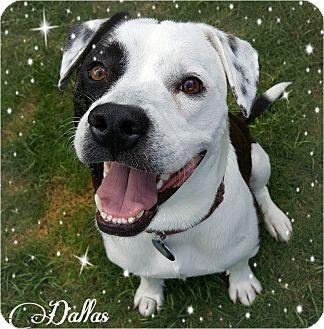 Labrador Retriever/American Pit Bull Terrier Mix Dog for adoption in Kingwood, Texas - Dallas