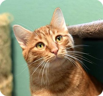 Domestic Shorthair Cat for adoption in St. Paul, Minnesota - Delta