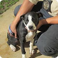 Adopt A Pet :: Ariel - Rocky Mount, NC