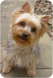 Yorkie, Yorkshire Terrier Dog for adoption in Greensboro, North Carolina - Sparky