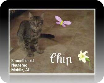 Domestic Mediumhair Cat for adoption in Mobile, Alabama - Chip