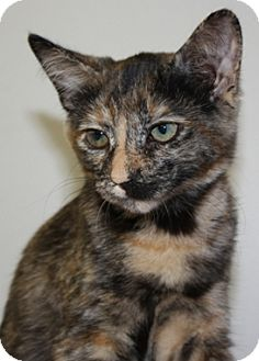 Domestic Shorthair Kitten for adoption in North Highlands, California - Easter