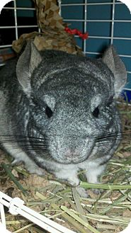 Chinchilla for adoption in Patchogue, New York - Buttercup