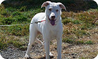 Labrador Retriever Mix Dog for adoption in New Cumberland, West Virginia - Dante