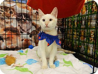 Siamese Cat for adoption in The Colony, Texas - Fancy Pants